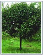 Memorialtree01